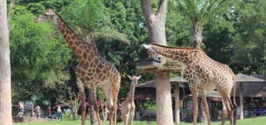 В зоопарке Кхао Кхео родился жираф