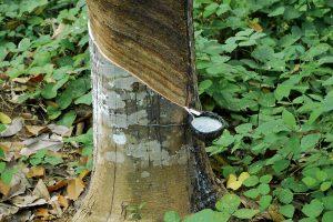 Сок каучукового дерева гевея