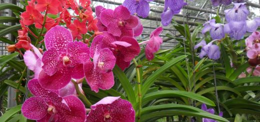 Ферма Орхидей Siriporn