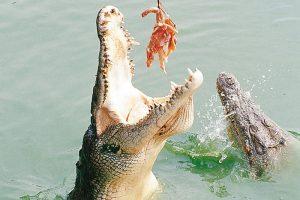 Кормежка крокодилов